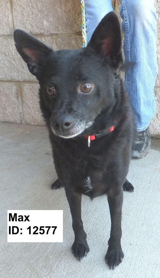Max     Schipperke Mix • Adult • Male • Medium     Animal Shelter of Pell City, Inc Pell City, AL
