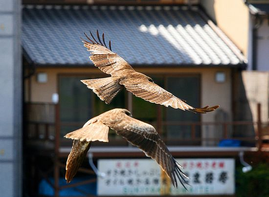 Kyoto Raiders by PacoAlcantara #Photography #Birds #Kyoto