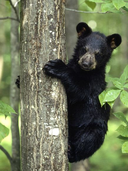 Black Bear Cub - Black bears are excellent climbers, scaling trees to play, hide, eat, and even hibernate.