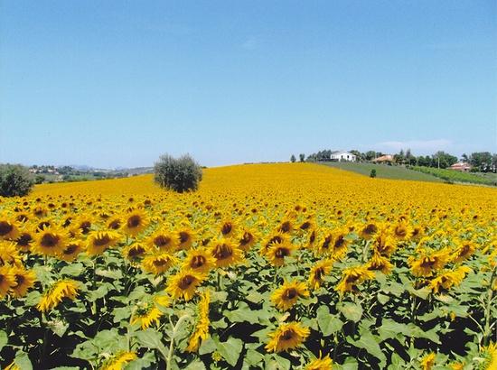 sunflowers field in Italy
