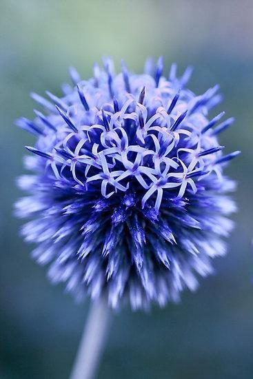 ? flower ? blue flower