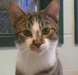 Max Man is an adoptable Domestic Short Hair Cat in Louisville, KY. MaxMan is a nice tabby and white cat that gets along great with other cats and is really comfortable with dogs. He has been with us s...