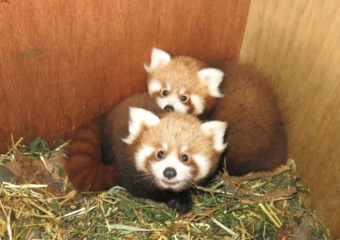 Red panda cubs. Picture by Port Lympne Wild Animal Park.