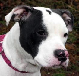 China is an adoptable Pit Bull Terrier Dog at the Bucks County SPCA in Lahaska, PA. 215-794-7425. I'm a sweet girl who could give you kisses all day long. I'm smart and have already been taught how to sit and lie down.  I'd love to go t...