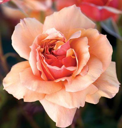 A peach colored rose
