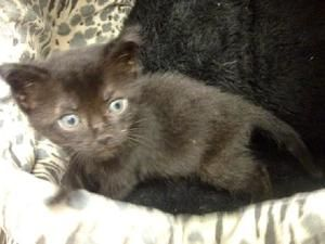 Bonnie - 507 is an adoptable Domestic Short Hair-Black Cat in Maumelle, AR. MFOA striving to decrease the number of homeless animals that are euthanized ! Bonnie is a cutie at about 6 weeks old (7/25/...