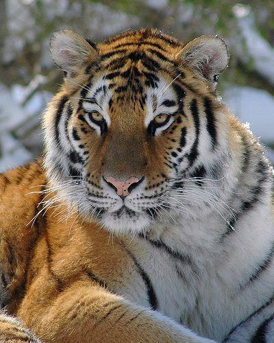 Tiger stare #wild #animals