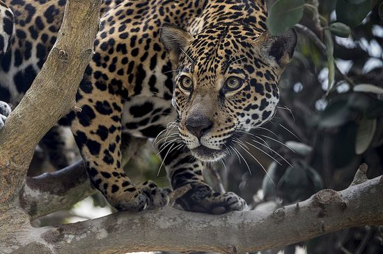 Big cats like jaguars have the best 3-D vision of all carnivores, which helps them gauge distances when jumping.