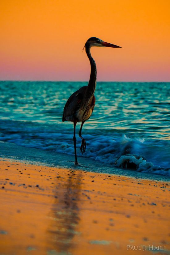 Great Blue Heron against Gulf of Mexico sunset  ♥ ♥ orange and turqu