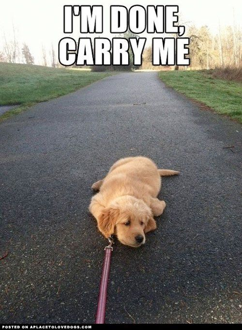 Golden Retriever Puppy knows his limit.-- this is exactly like my German Shepard puppy