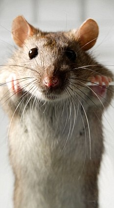 Love this photo of a rat :) Rats are awesome