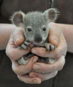 In my casual browsing of animal pictures.. I came across a baby koala.. Adorable right? Not everything in Australia kills you!! @Alex Atkinson Kiess