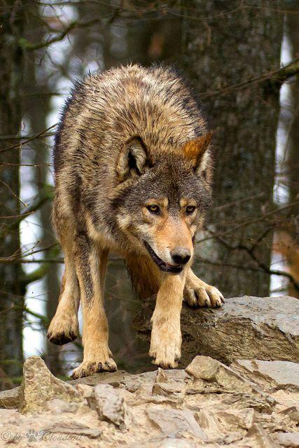 ?running wolf