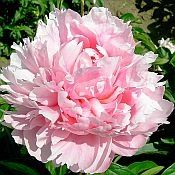 lovely double pink peony