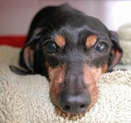 Liberty is an #adoptable Dachshund Dog in #SanDiego, #CALIFORNIA........ SPECIAL NEEDS SENIOR - What a better name for a princess that was rescued on 9/11 than Liberty! Libby has been through a lot and was very, very ...