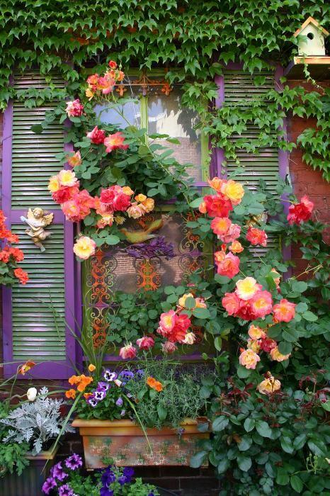 beautiful climbing Peace rose