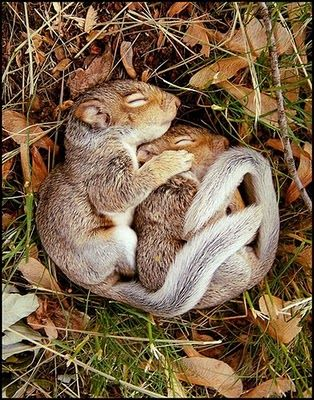 sleepy spooning squirrels. Want to snuggle too!