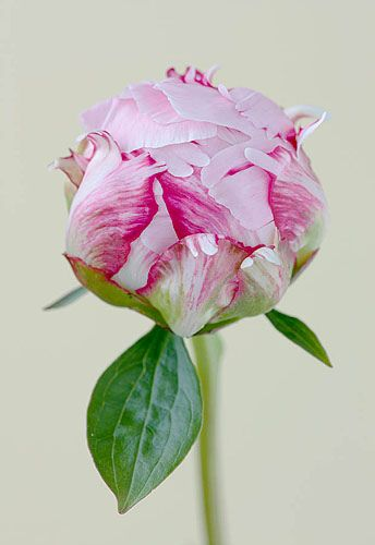 Peony by Clive Nichols