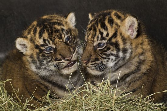 With only about 400 Sumatran #tigers left in the wild, these two are very #precious.
