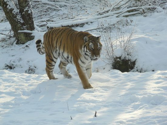MORE PROTECTION POSSIBLE FOR SIBERIAN TIGERS  by EDITOR on NOVEMBER 25, 2012