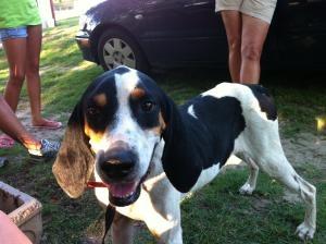 TEXAS ~ meet Blue a #TreeingWalkerCoonhound, #Dog; #adoptable in #Plano