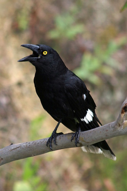 Currawongs are three species of medium-sized passerine birds belonging to the genus Strepera in the family Cracticidae native to Australasia.