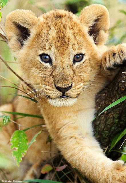 Cute baby lion photo