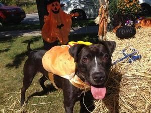 BUSTER is an #adoptable #Pit #Bull #Terrier #Dog in #Staten #Island, #NY. A volunteer writes: Buster is a sweetie pie. He just wants to hang out together and share the love. He is beautifully black with a fin...