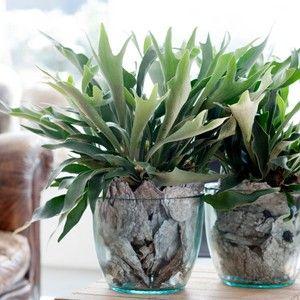 Hertshoornvaren, deze plant met grijs/groene bladeren staat stoer in een glazen pot, past prima in een stoer interieur.