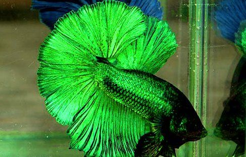 Betta fish also known as siamese fighting fish are an for Aggressive fish for sale