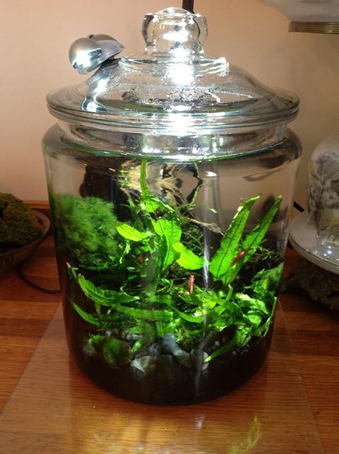 My cherry red shrimp planted cookie jar aquarium imgur for Shrimp fish tank