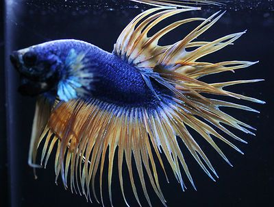 Yellow blue crowntail male live betta fish imported from for Ebay betta fish