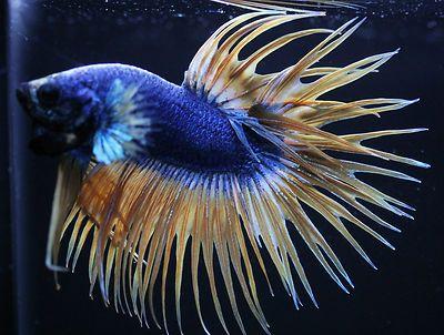 Blue and yellow betta fish - photo#21