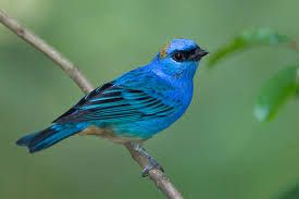 Image result for tanager