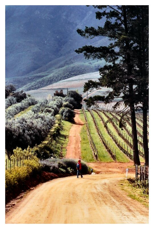 Stellenbosch, South Africa is my vineyard wine drinking heaven. Weather to match I loved it here