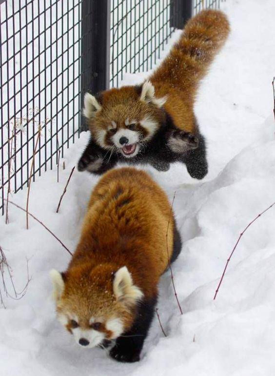 レッサーパンダの追いかけっこ可愛い姿