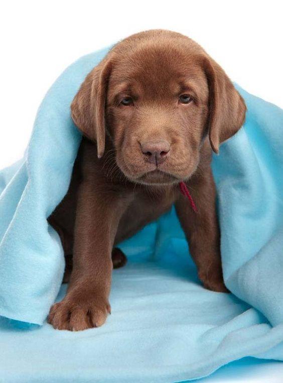 cute chocolate labrador retriever - photo #19