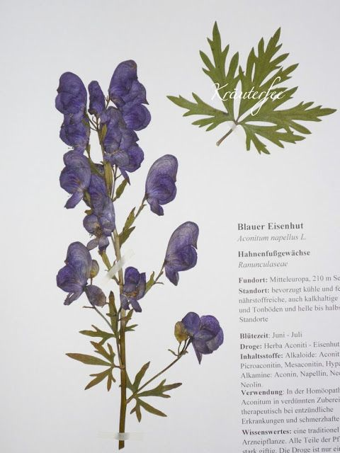 Krauterfee Herbarbeleg Blauer Eisenhut Aconitum Napellus L Blauer Eisenhut Eisenhut Waldpflanzen