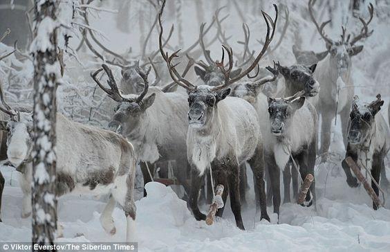 herd of reindeer in the wild - Google Search