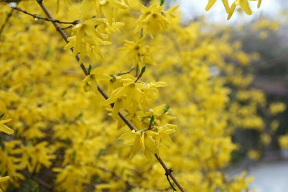Yellow gaenail flower
