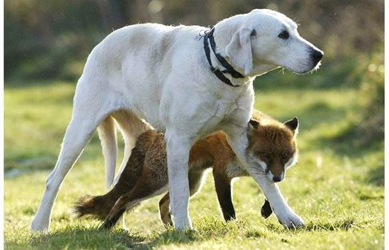 Bella the foxhound and Maggie the fox have become firm friends at an animal sanctuary in Essex
