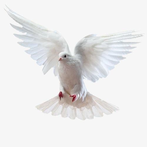 Flying Pigeons Product Kind Pure White Dove Png Transparent Clipart Image And Psd File For Free Download Flying Pigeon Pigeon Birds In Flight