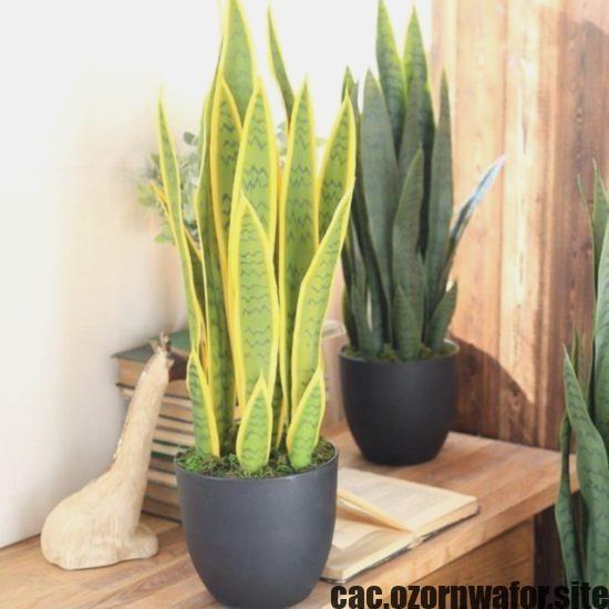 Excellent Photo Cactus Plants Benefits Suggestions Plants Plant Benefits Snake Plant