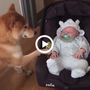 Veja que cuidado desse cão com o bebê.