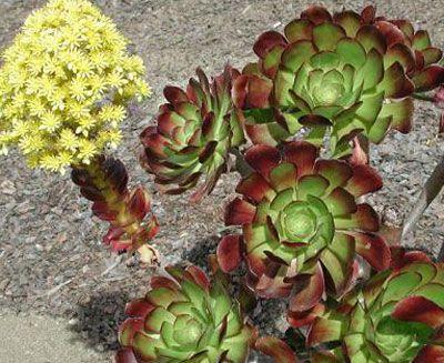 Suculentas y crasas nombres y especies garden and work for Nombres de cactus y suculentas