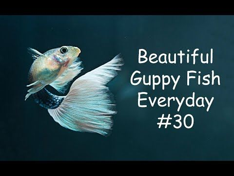 Guppy Channel Beautiful Guppy Fish Everyday 30 Youtube