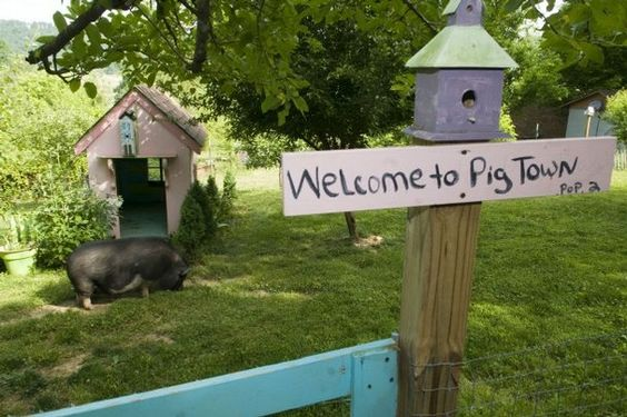 Fat Jack, a Vietnamese potbelly pig, grazes near a salvaged children's play house in the garden of Seymour resident, Chante Watkins.