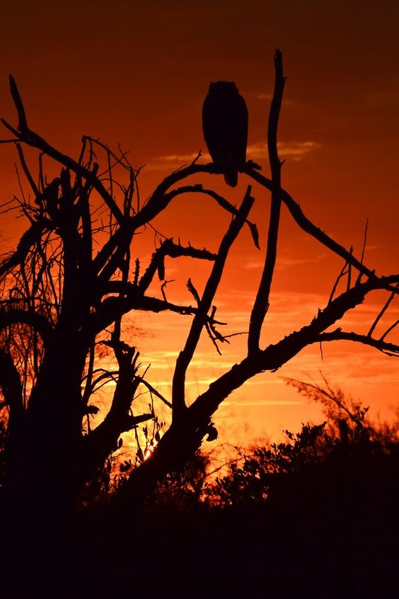 Photo and caption by Holly Danesi    Awesome Sunset With owl in tree.    Location: Apache Junction Az