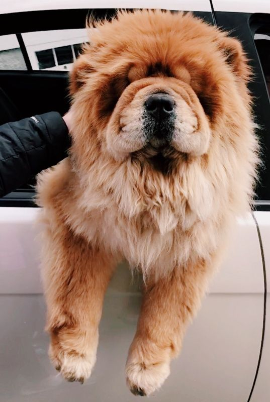 Vsco Found A Chow Chow Pupper Joellefiala Cute Photos