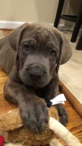 Deacon Frost 9 weeks old Cane Corso